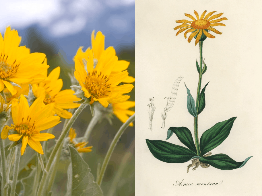 Companion botanical close-up: Arnica