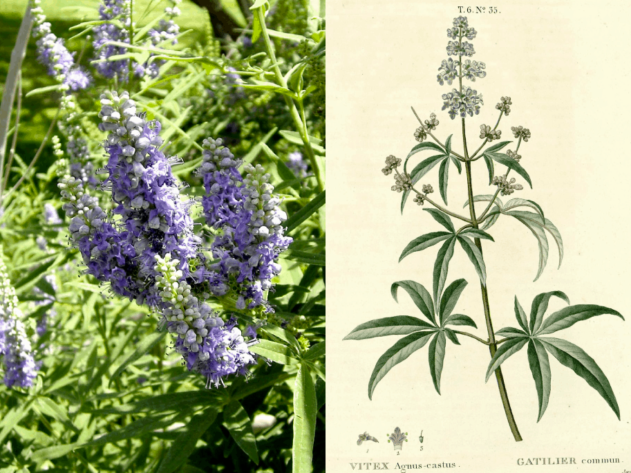 Companion Botanical Close-Up: Chasteberry or Vitex Agnus-Castus