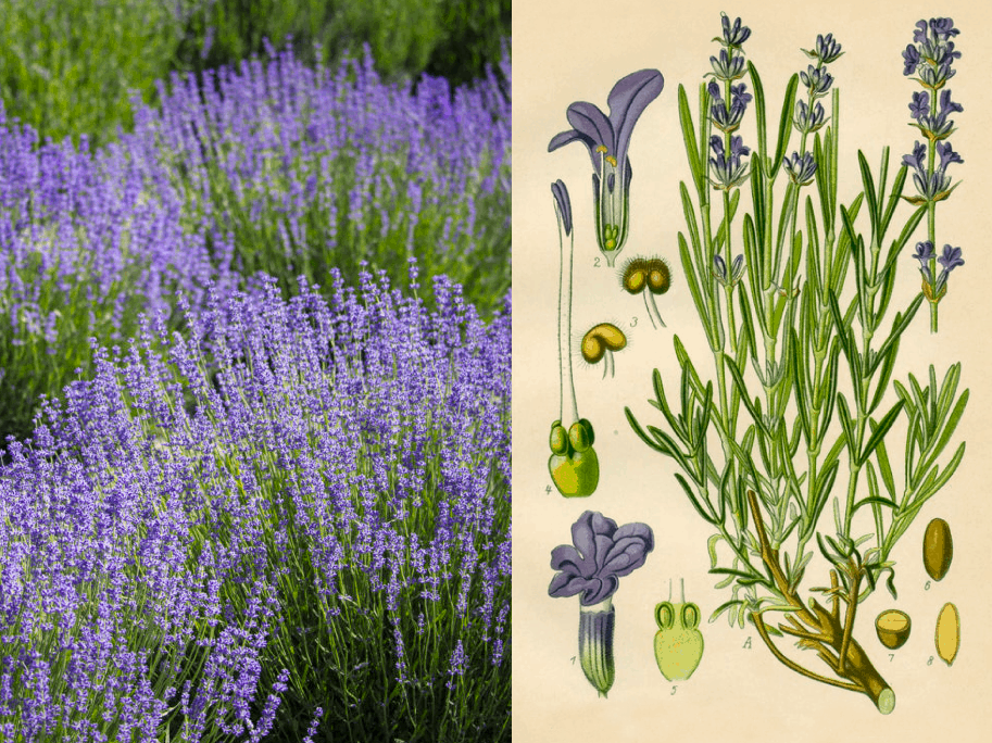 Companion Botanical Close-Up: Lavender